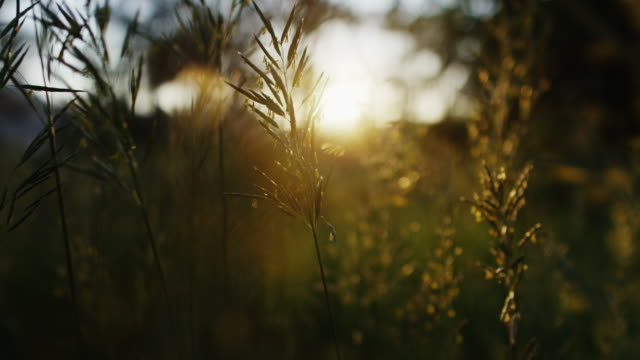the viewer (pov) moves through the tall flower field at sunset revealing the beauty in nature. shot on the red dragon 6k in slow motion. - focus on foreground stock videos & royalty-free footage