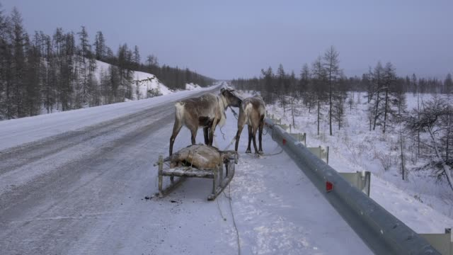 the village of yuchugey, sakha republic , russia; february 19, 2019; two reindeers and a sledge owned by an evenki man on kolyma highway, sakha,... - herder stock videos & royalty-free footage