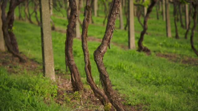 the vines, from bottom to top. - grape leaf stock videos and b-roll footage
