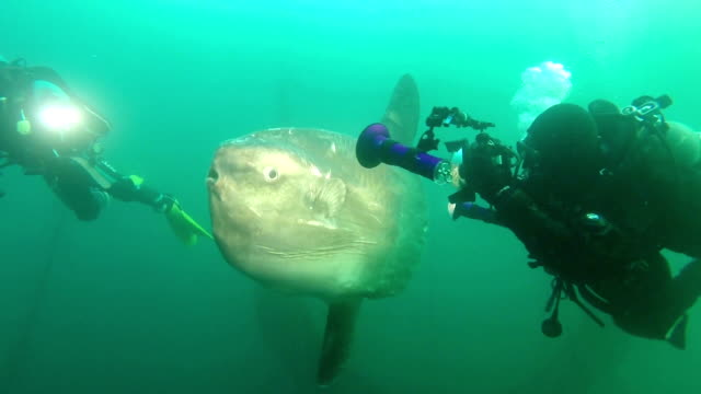 stockvideo's en b-roll-footage met the warming seas are receiving new visitors such as the massive ocean sunfish normally found in more temperate waters shot on november 172015 in... - klompvis