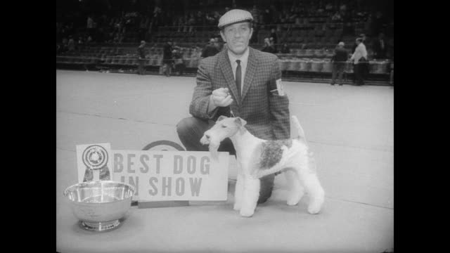 vidéos et rushes de the westminster kennel club holds its annual dog show at madison square garden / contestants groomed and trimmed by their owners / large crowd... - concours