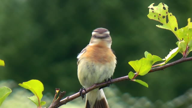 the whinchat (saxicola rubetra) - branch stock videos & royalty-free footage
