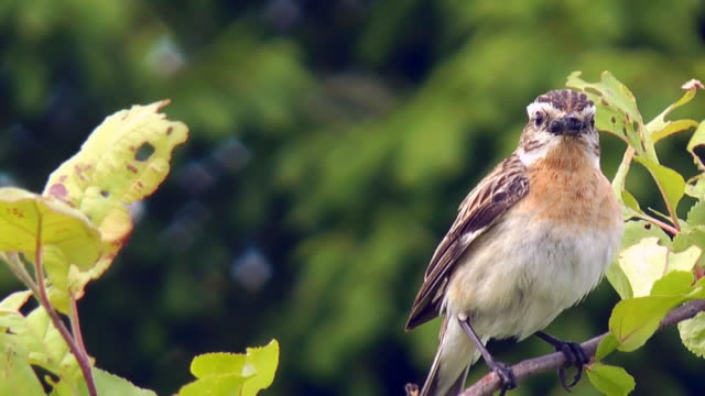 the whinchat (saxicola rubetra) - insect stock videos & royalty-free footage