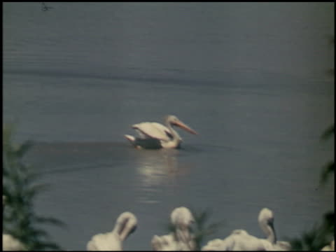 the white pelican - 10 of 16 - see other clips from this shoot 2486 stock videos & royalty-free footage