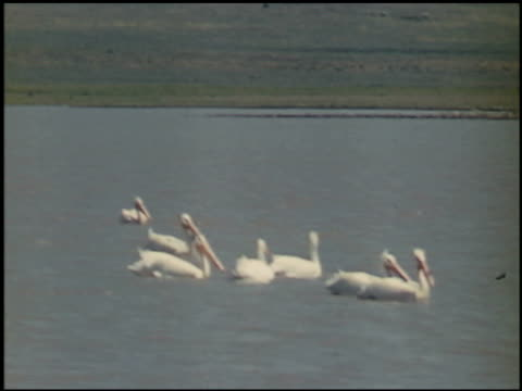 the white pelican - 11 of 16 - see other clips from this shoot 2486 stock videos & royalty-free footage