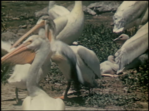 the white pelican - 12 of 16 - see other clips from this shoot 2486 stock videos & royalty-free footage