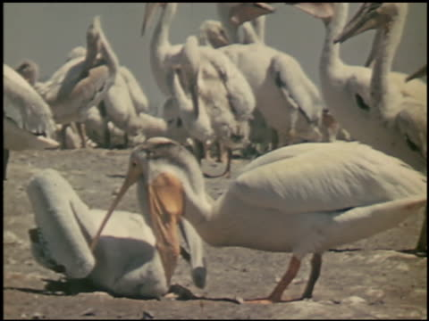 the white pelican - 13 of 16 - see other clips from this shoot 2486 stock videos & royalty-free footage