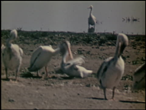 the white pelican - 15 of 16 - see other clips from this shoot 2486 stock videos & royalty-free footage