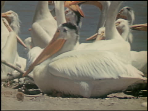 the white pelican - 3 of 16 - see other clips from this shoot 2486 stock videos & royalty-free footage