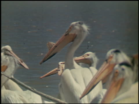 the white pelican - 4 of 16 - see other clips from this shoot 2486 stock videos & royalty-free footage