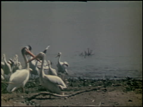 the white pelican - 8 of 16 - see other clips from this shoot 2486 stock videos & royalty-free footage