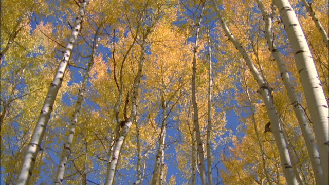 the white trunks and golden leaves of aspen trees contrast with a vivid blue sky. available in hd. - aspen tree stock videos & royalty-free footage