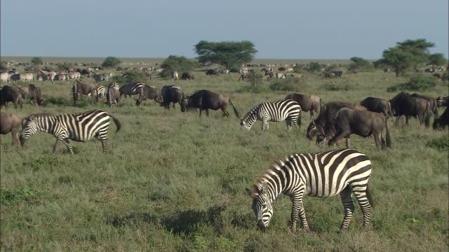 the wildebeest (gnu) and the zebra eating grass on the field in serengeti national park, tanzania - シマウマ点の映像素材/bロール