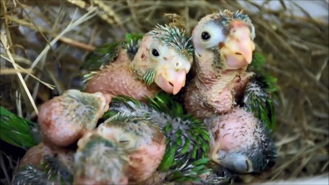 the wildlife rescue center el tronador in el salvador rescues parrot chicks from animal trafficking before releasing them back into the wild - trafficking stock videos & royalty-free footage