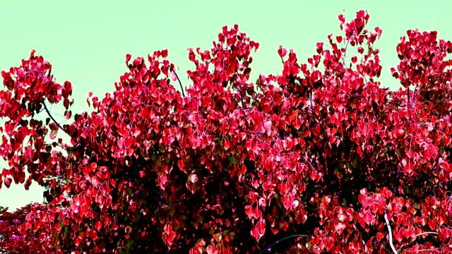 vídeos de stock, filmes e b-roll de o vento rebentou com pho vermelho na árvore - árvore da borracha