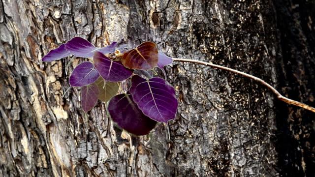vídeos de stock, filmes e b-roll de o vento rebentou com a lâmina pho na árvore - árvore da borracha