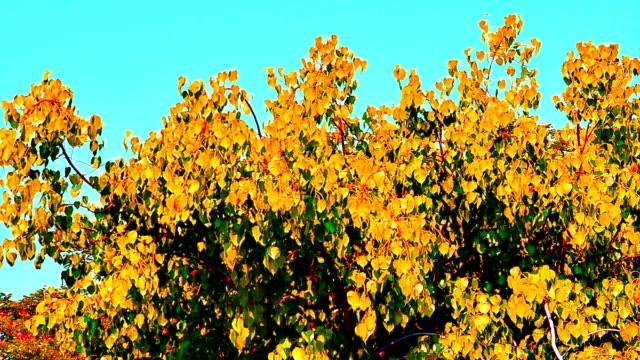 vídeos de stock, filmes e b-roll de o vento rebentou com amarelo pho na árvore - árvore da borracha