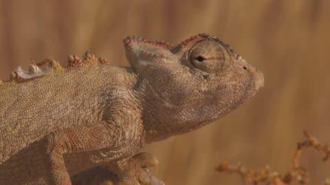 vídeos y material grabado en eventos de stock de the wind blows as a chameleon rests near a field of high grass. available in hd. - esconder