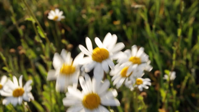 the wind blows gently through a field of daisies in germany. - daisy stock videos & royalty-free footage