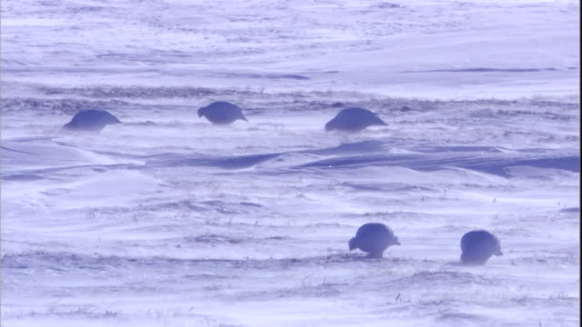 the wind blows snow over ptarmigans as they forage. available in hd. - arctic stock videos and b-roll footage
