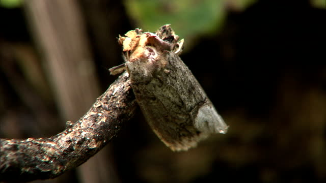 the wind flutters the wings of a moth perched on a branch. - moth stock videos & royalty-free footage