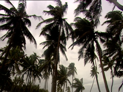 the wind moves through palm trees on the sri lankan coast - blattfiedern stock-videos und b-roll-filmmaterial