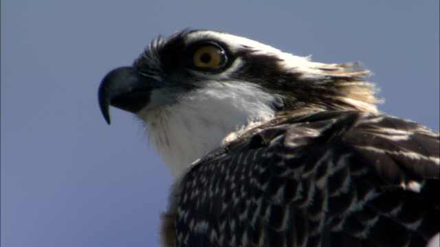 the wind ruffles the feathers of a osprey. - ミサゴ点の映像素材/bロール
