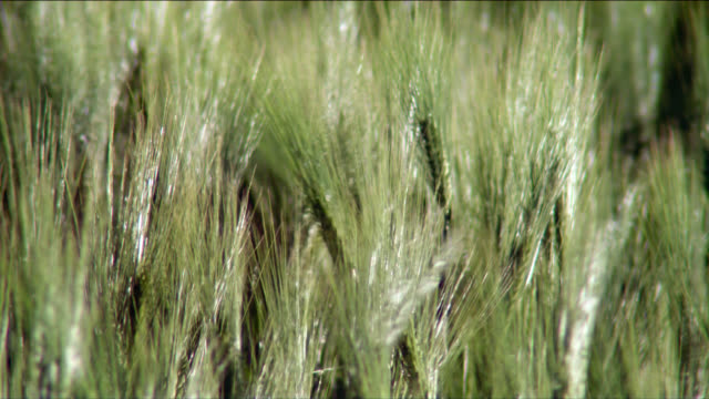 the wind rushes through a field of barley. - orzo video stock e b–roll