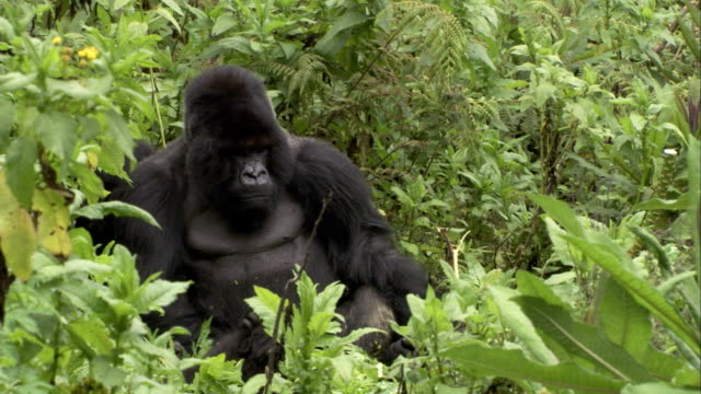 The wind rustles trees and vegetation surrounding an adult mountain gorilla. Available in HD.