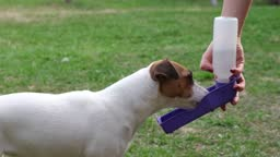 The woman gives the dog a drink from a special portable drinking bowl outdoors. Jack Russell Terrier quenches his thirst with a plastic travel bottle