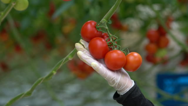 the workers are collecting tomatoes - giardinaggio video stock e b–roll