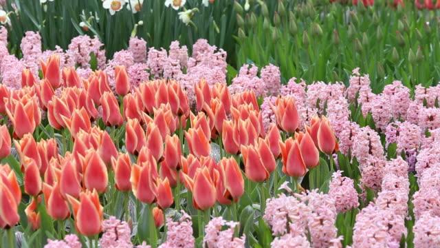vidéos et rushes de the world famous keukenhof gardens in lisse in the netherlands, the most famous spring garden in the world. - parterre de fleurs