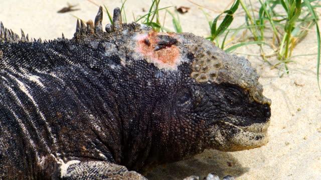 vídeos y material grabado en eventos de stock de the wounded marine iguana in galapagos islands - iguana de los galápagos