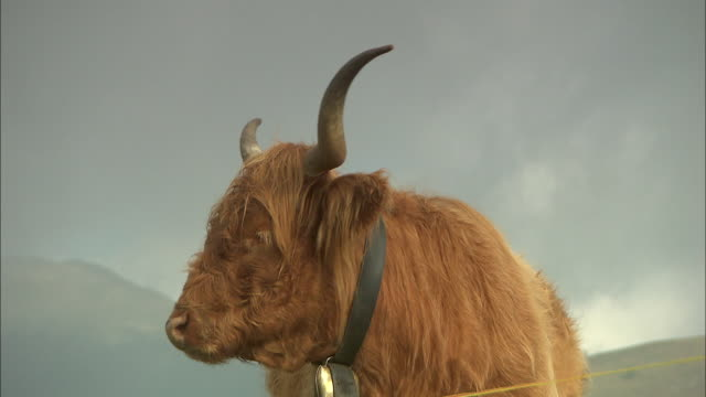 the yak squalls - cow stock videos & royalty-free footage