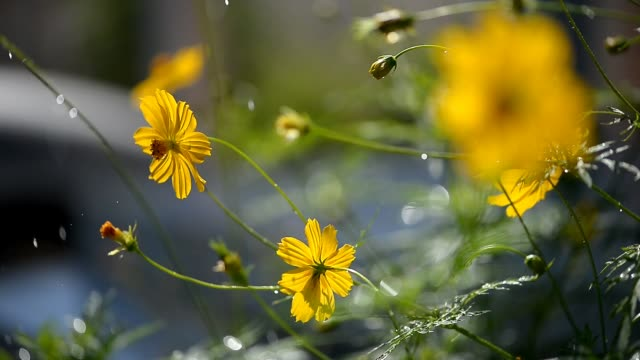 The yellow cosmos flower in watering moment