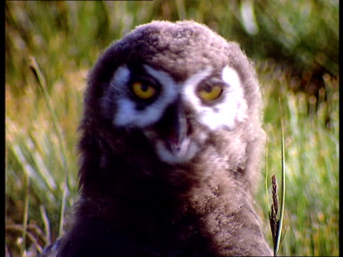 The yellow eyes of a baby snowy owl glance around his surroundings.