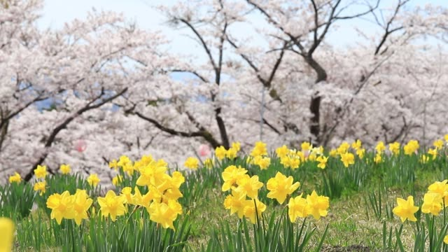 the yellow flowers of daffodils blooming with sakura and cherry blossom tree background.beautiful landscape nature spring season in japan. - daffodil stock videos & royalty-free footage