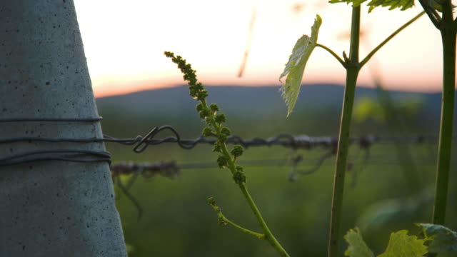the young grape fruit setting at sunset - grape leaf stock videos and b-roll footage