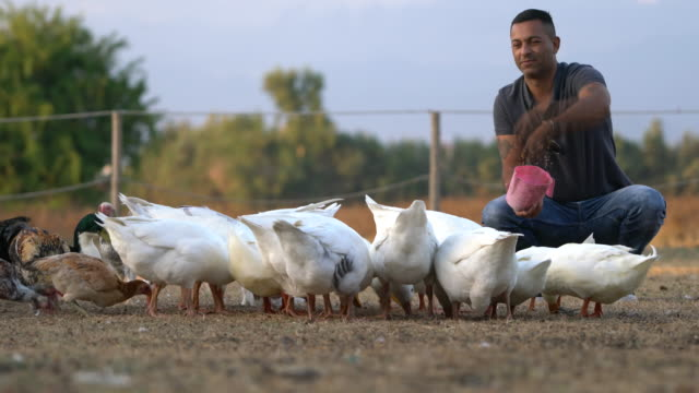 the young man feeds the animals in the farm - pollo video stock e b–roll