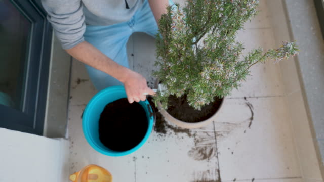 the young man repotting rosemary  plant on balcony - gardening at home - micro organism stock videos & royalty-free footage