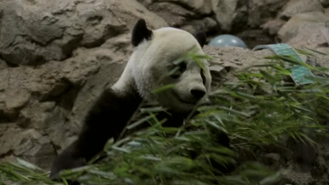 the youngest giant panda cub at smithsonian's national zoo bei bei celebrates his first birthday he was given his name which means 'precious' or... - smithsonian institution stock videos & royalty-free footage