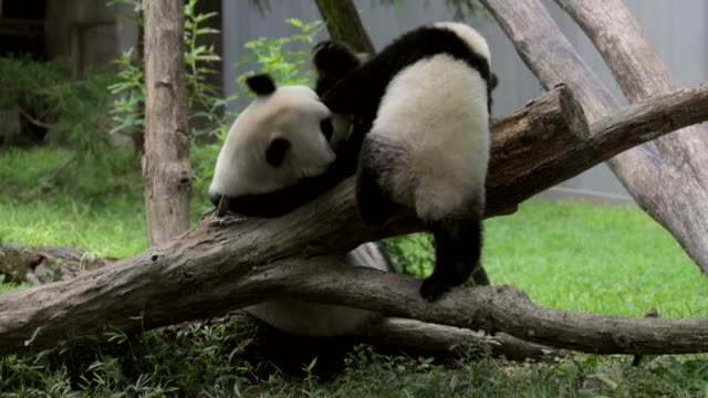 stockvideo's en b-roll-footage met the youngest giant panda cub at smithsonian's national zoo bei bei celebrates his first birthday he was given his name which means 'precious' or... - panda