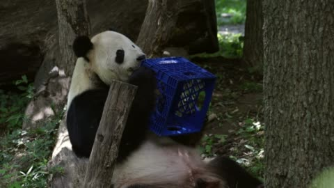 the youngest giant panda cub at smithsonian's national zoo, bei bei, celebrates his first birthday. he was given his name, which means 'precious' or... - smithsonian institution stock videos & royalty-free footage