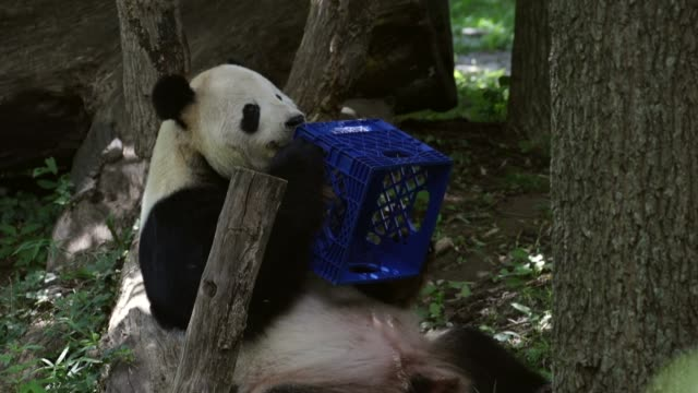 vídeos y material grabado en eventos de stock de the youngest giant panda cub at smithsonian's national zoo bei bei celebrates his first birthday he was given his name which means 'precious' or... - instituto smithsoniano