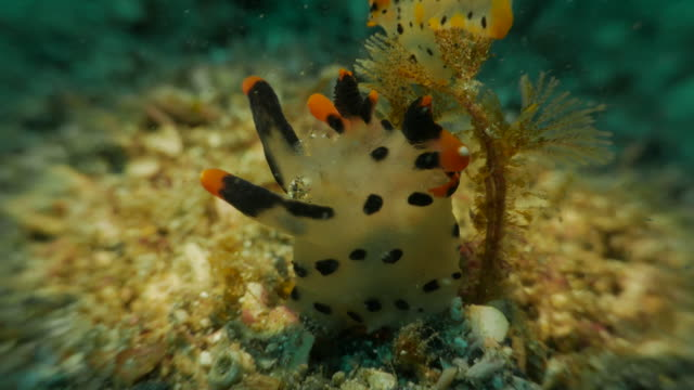 thecacera picta, sea slug, close-up shot - nudibranch stock videos & royalty-free footage