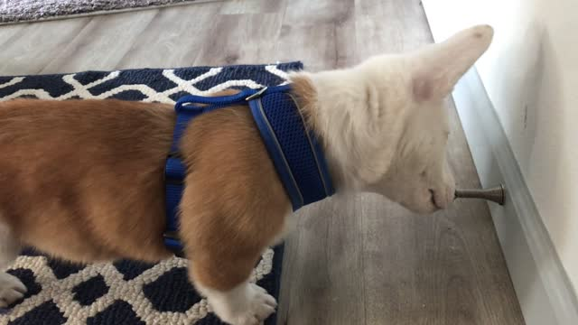 theodore the corgi discovers the funny noise that a door stopper can make. yuo can see him think, 'what is this sorcery?' cuteness overload! - cork stopper stock videos & royalty-free footage