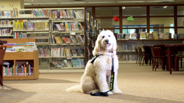 therapy dog sitting in public library - trained dog stock videos & royalty-free footage