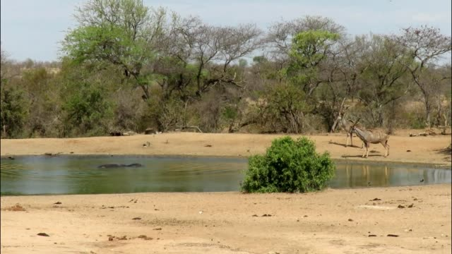 there are many days when the african bush is dead quiet with not much happening at all. none the less, you always have to expect the unexpected as... - hooved animal stock videos & royalty-free footage