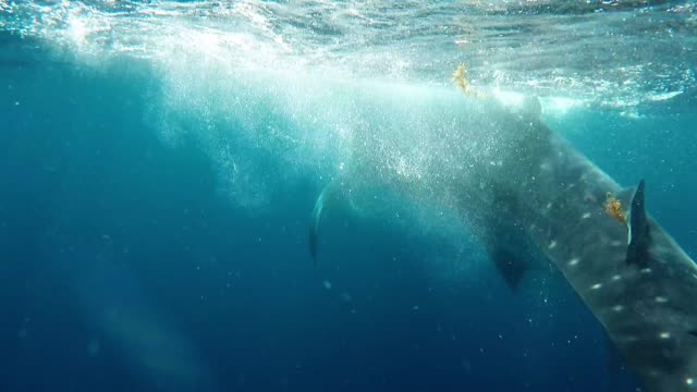 vídeos de stock e filmes b-roll de there is an area near isla mujeres, mexico where the whale sharks congregate to feed on krill and fish eggs. these massive and beautiful creatures... - cetáceo