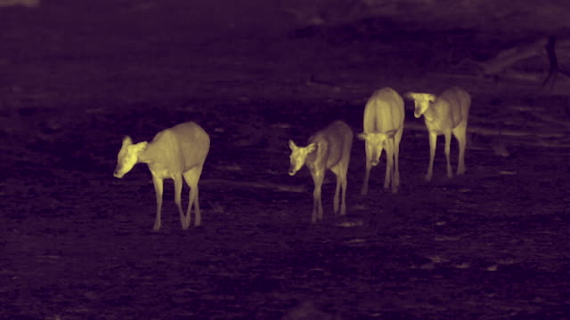 thermal image of chital deer, sri lanka. - 四匹点の映像素材/bロール